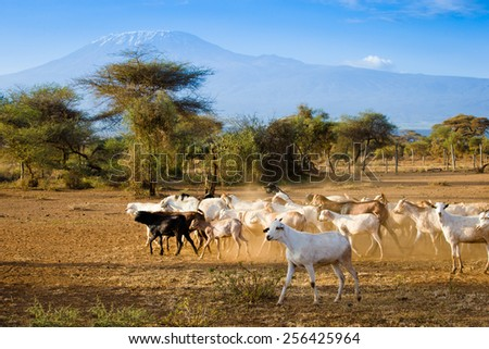 Goats and morning kilimanjaro background - stock photo