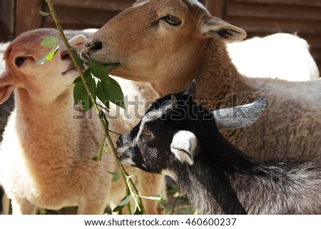 Goats and sheep eating funny close up portrait