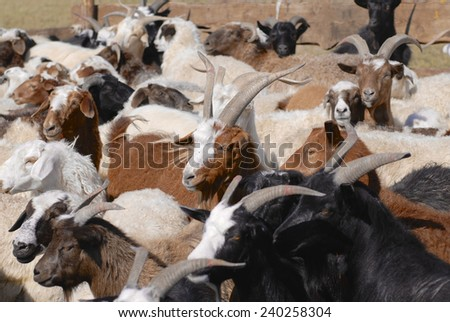 Goats and sheep in a cattle-pen in Central Mongolia. - stock photo
