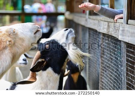 Goats at pet zoo - stock photo