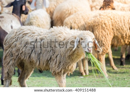Goats eating grass on the farm of a farmer in the poor light. Dye morning sun - stock photo