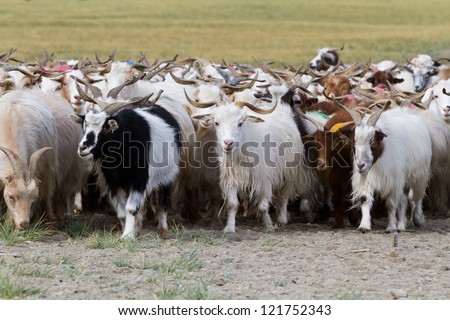 Goats feed in Himalayas Mountains