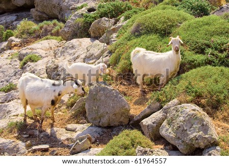 Goats graze in the mountains among the rocks and grass ... - stock photo