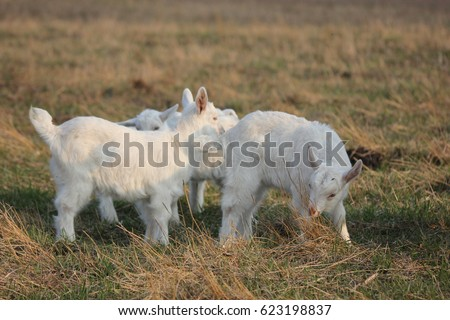 goats in a meadow pasture