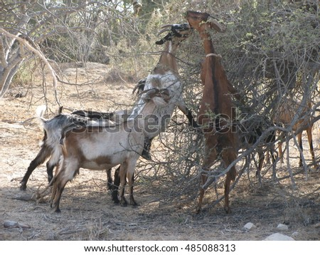 Goats In Trees Calendar 2012 Stock Images, R...