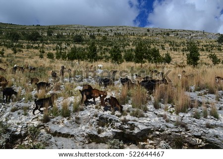 goats in the mountains of Albania