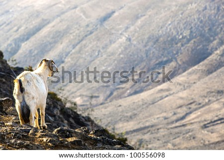 goats in the mountains watching the area - stock photo