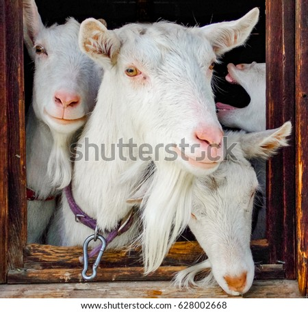 Goats looking out window portrait