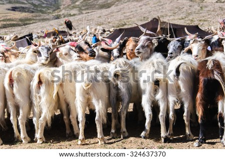 Goats of nomads at Korzok village near Tso Moriri Lake, Ladakh, India. During the summers Changpas camp at various places in their tents and look after their flock.
