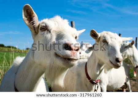 goats on a farm - stock photo