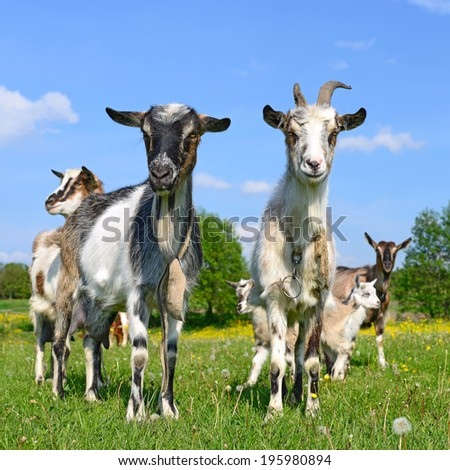 Goats on a summer pasture - stock photo