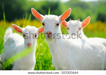 Goats on pasture - stock photo