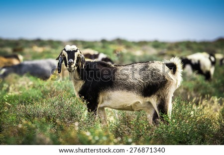 Goats, pasturing on a beautiful meadow - stock photo