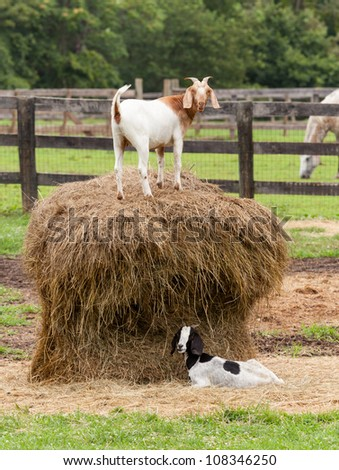 Goats standing on top of bale of straw in farm field with horse - stock photo