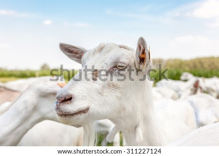 goats walks on the field in the sun