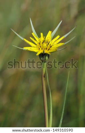 Goatsbeard - Tragopogon pratensis Also known as Jack-go-to-bed-at-noon