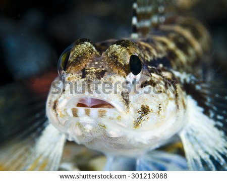 Goby portrait (Gobius rullei)