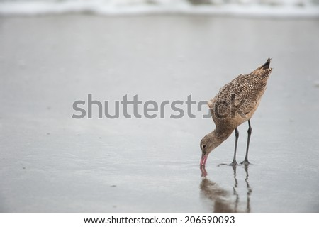 Godwit birds at the shore