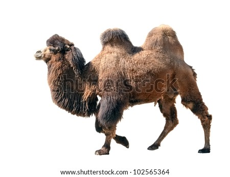 Going bactrian camel isolated on white background - stock photo