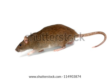 going rat, isolated on the white - stock photo