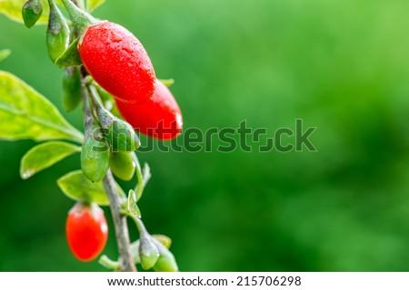 Goji berry - stock photo