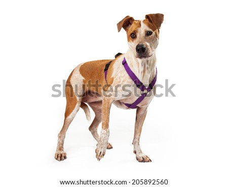 Gold and white mixed breed dog with purple harness standing with one paw lifted slightly - stock photo