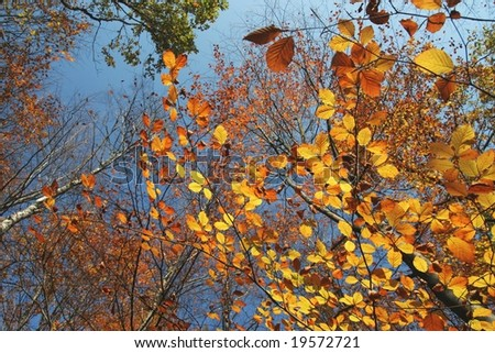 gold beech leaves