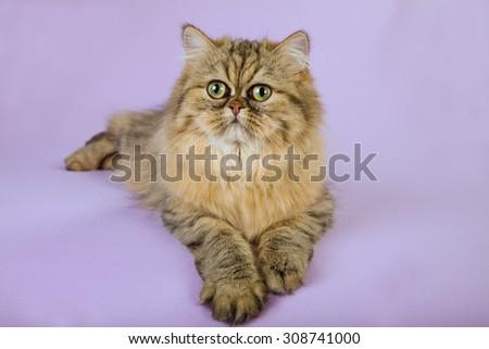 Gold Chinchilla Persian lying on light purple background  - stock photo