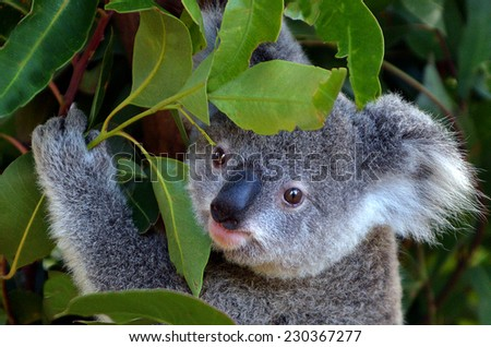 GOLD COAST, AUS - NOV 04 2014:Baby cub Koala in Australia Currumbin Wildlife Sanctuary. The sanctuary now houses one of the largest collections of Australian native species in the world.