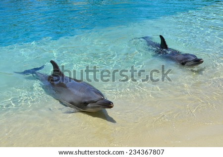GOLD COAST, AUS -  NOV 11 2014:Bottlenose Dolphinsl.It's the most common species of dolphin kept in dolphinariums as they are easy to train, have a long lifespan in captivity and friendly