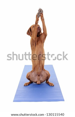 gold color dog reaching high in air with paws while sitting on a yoga mat isolated on white background - stock photo