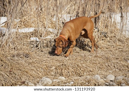 gold color hunting dog tracking scent on the ground - stock photo