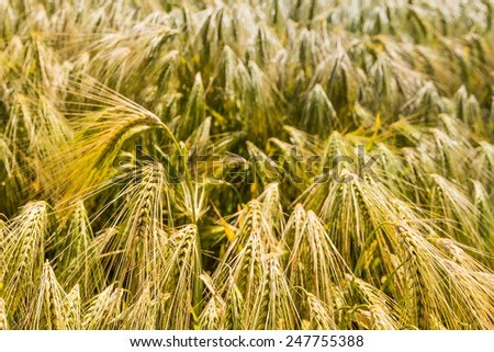 Gold colored bent culms of barley ripening in a Dutch field at the beginning of the summer. - stock photo