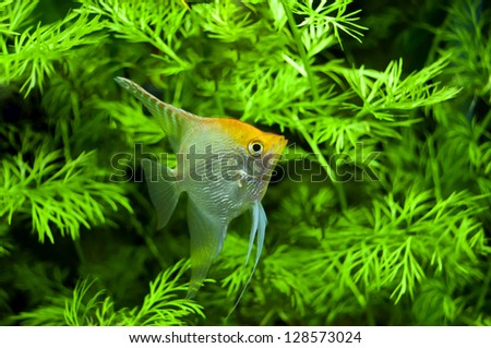 Gold Diamond Freshwater Angelfish South American Cichlid in aquarium