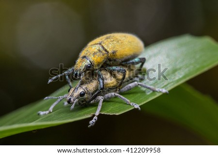 Gold Dust weevill on maiting , Gold-dust weevils' Fertilization. A Kind of Bugs or Insects Fertilization , Bugs Maiting - stock photo