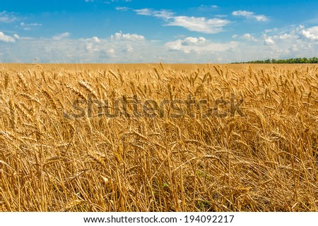 Gold ears of wheat in a field on a background of blue sky with clouds