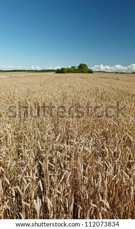 gold ears of wheat under deep blue sky - stock photo
