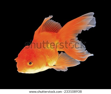Gold fish black background