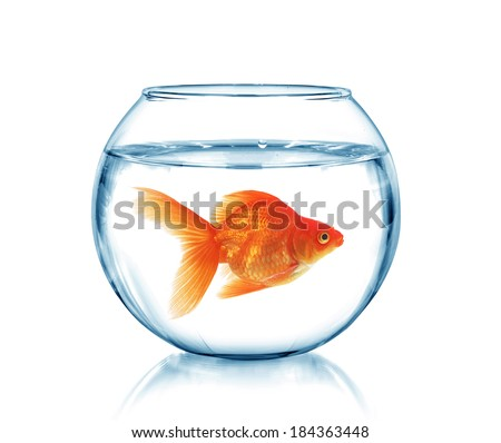 Gold fish in a fishbowl, isolated on white  - stock photo