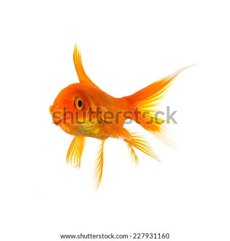Gold fish is shocked on white background