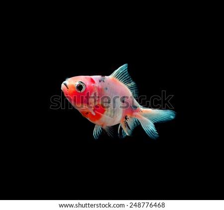 gold fish isolated on black - stock photo