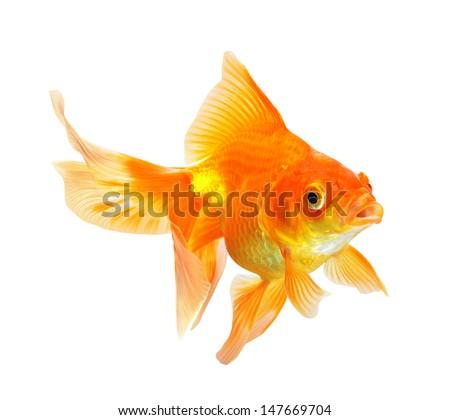 Gold Fish isolated on white background - stock photo