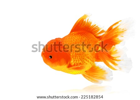 Gold fish isolated on white background with clipping path - stock photo