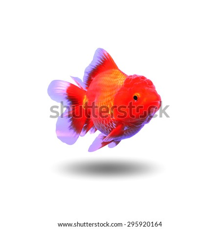 Gold fish,isolated on white background, with clipping path - stock photo