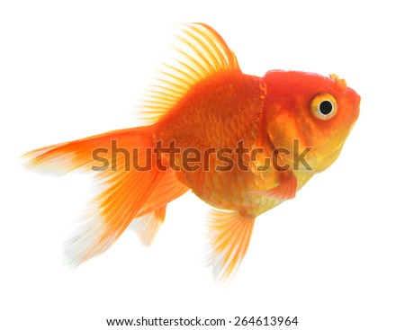 Gold fish isolation on the white. - stock photo