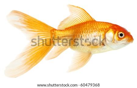 Gold fish. Isolation on the white - stock photo