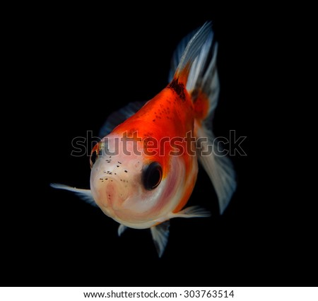 gold fish on black background