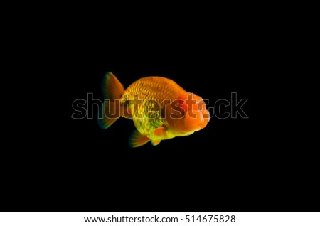 gold fish with black Background.