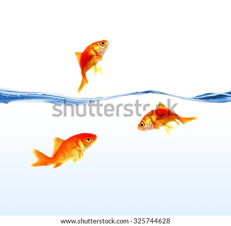 gold fishes on water isolated - stock photo