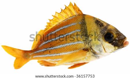 Gold fresh fish on white background - stock photo